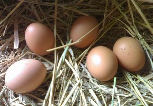 福州土鸡蛋批发销售 厂家直销-- 福州鑫宏兴蛋业有限公司
