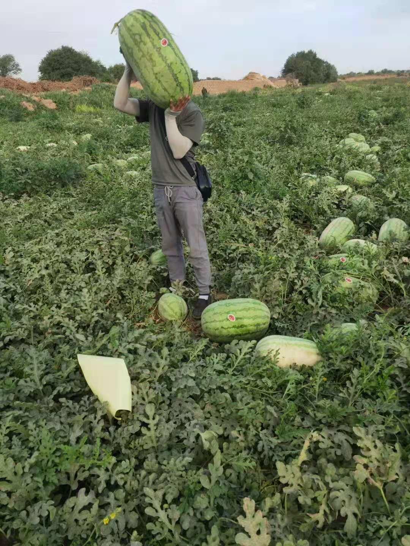 新疆西瓜也分公母?如何挑选香甜多汁西瓜?-- 新疆文睿西瓜代办团队