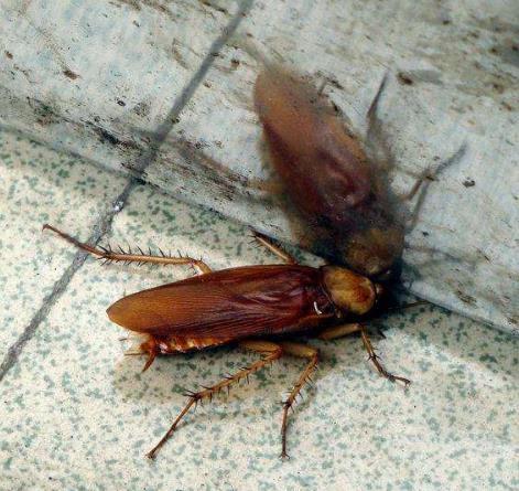 蟑螂的防治方法有哪些?新乡灭蟑螂哪里好?-- 河南倍力环境治理有限公司